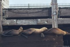 sea_lion_trio_sleeping
