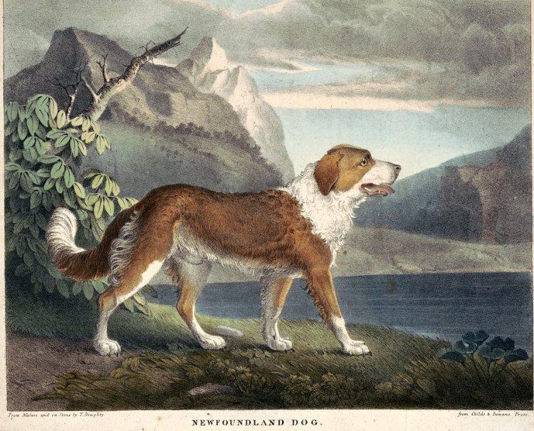 Newfoundland dog print from 1830