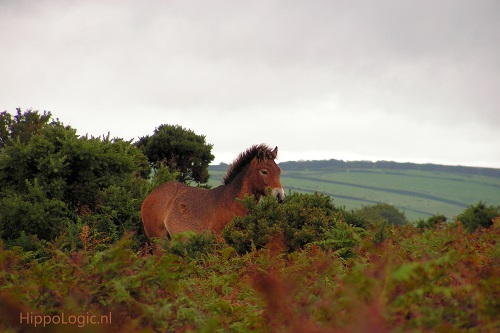 Exmoor pony on the Moors