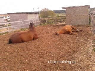 hippologic train horse to lie down clickertraining