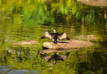 Brisbane Botanic Gardens Un uccello nellaLaguna