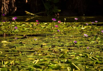 Brisbane Botanic Gardens Bellissime Ninfee