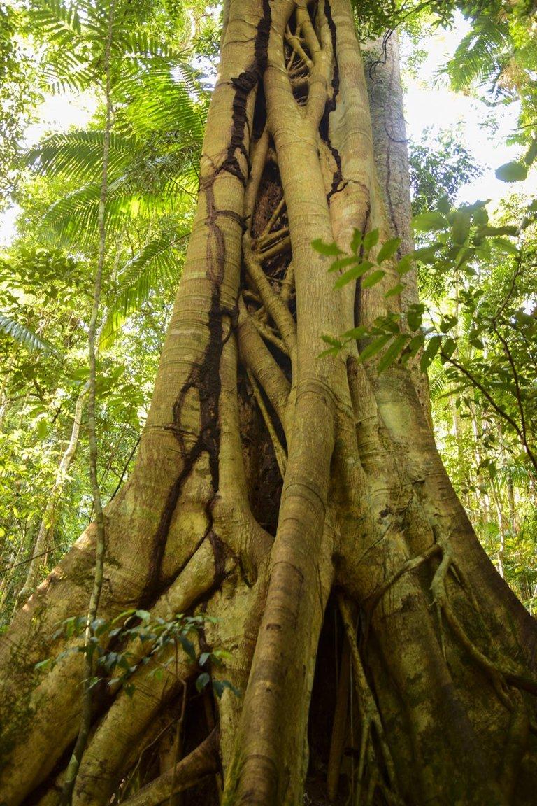 Le immense piante secolari della rainforest australiana