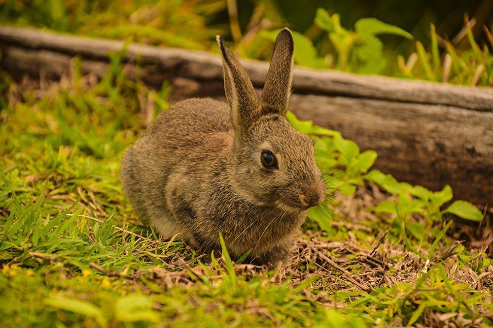 Coniglietto incontrato sulla passeggiata di Byron Bay