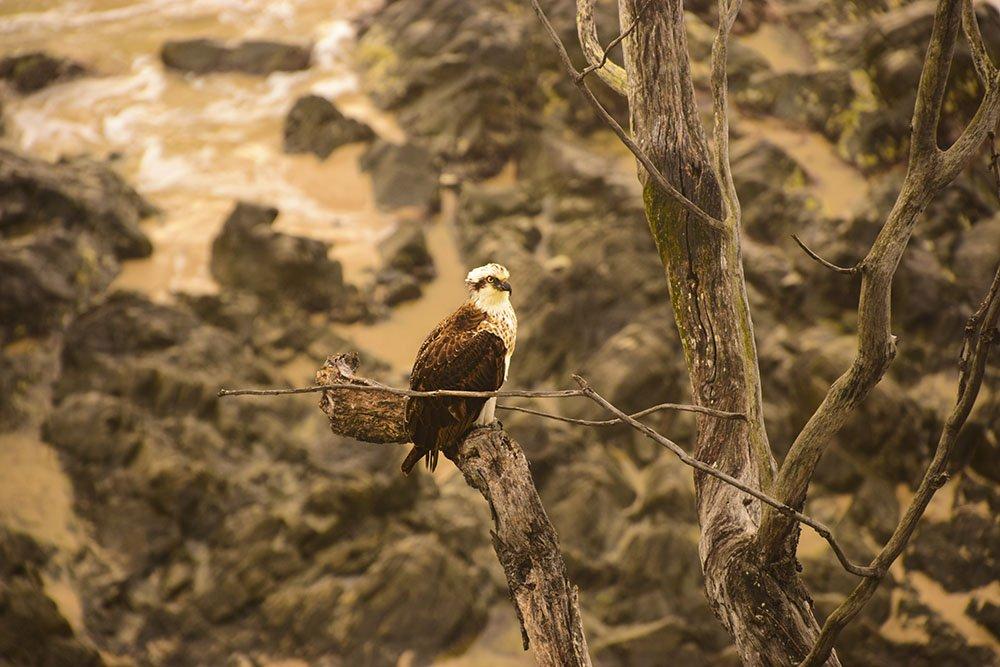 Falco pescatore australiano