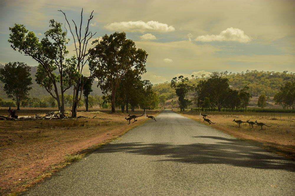 Australia Attraversamento Canguri
