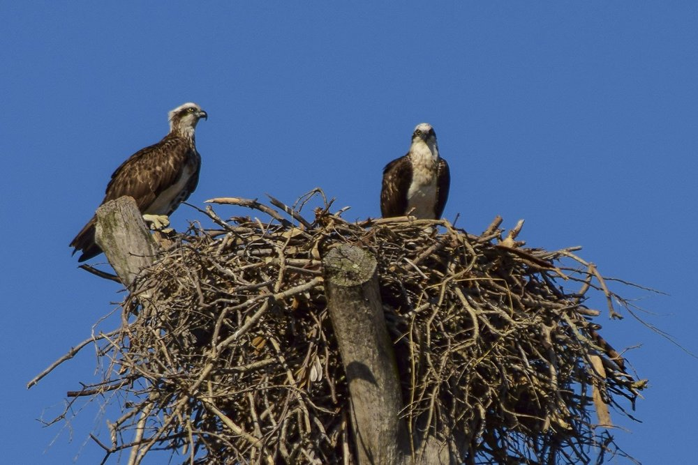 Amity Point Eagle