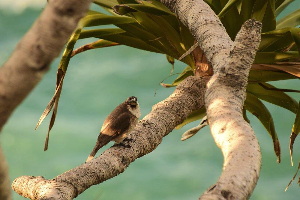 Noisy Friarbird Australia
