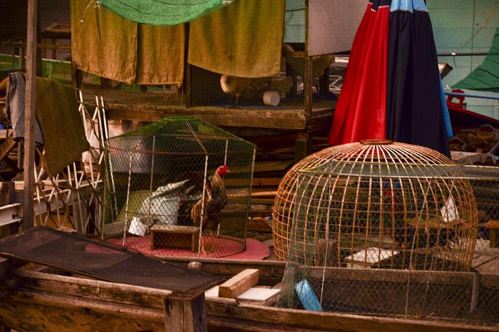 Combattimenti fra galli in Thailandia