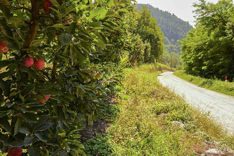 Sentieri Lago di Levico: Incontriamo anche le mele del Trentino!