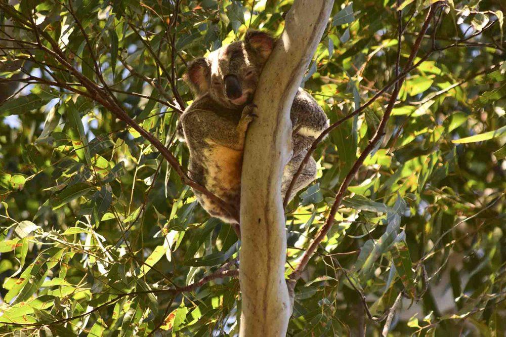 Un koala in Australia, Queensland