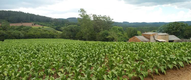Municípios que produzem tabaco têm melhor desenvolvimento