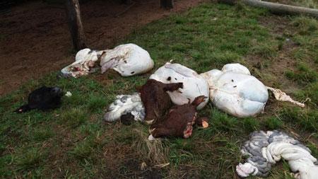 Abigeatários atacam propriedade rural no interior de Tapes