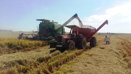 Colheita de arroz atinge 35,5% no Estado