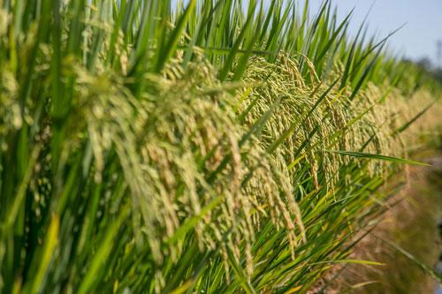 Federarroz: Segundo semestre de 2019 será marcado pela escassez de arroz