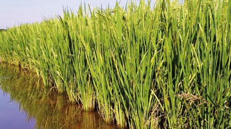 """Sentinela do Sul realizará Seminário Técnico sobre o """"Arroz Irrigado"""""""