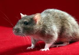 Rats! Gotta love them
