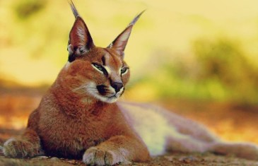 The Renegade Report – Conscious Caracal