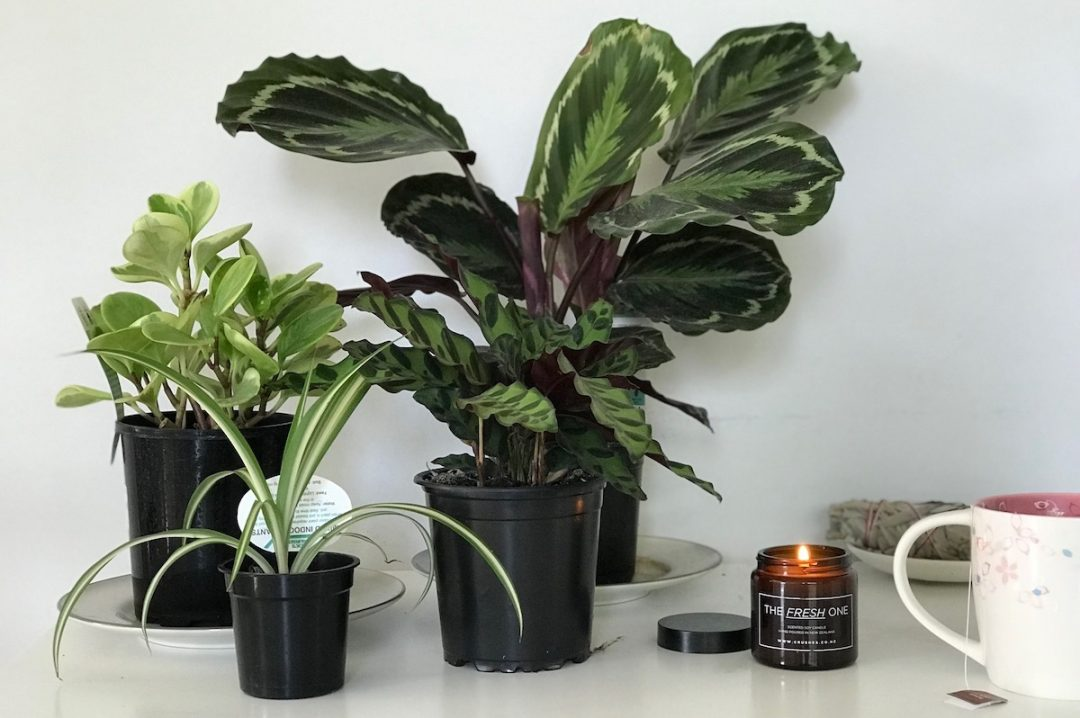 houseplants with huge leaves