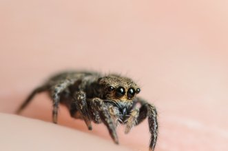 Black Jumping Spider