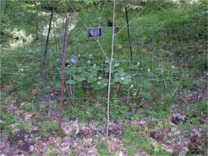 Figure 1: California Woods deer exclosure (above) protected trilliums are thriving