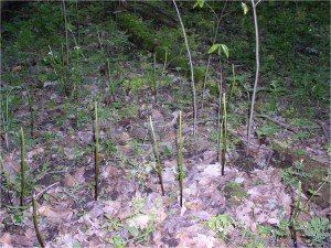 Figure 2: California Woods exclosure reference plot - trilliums have been reduced to stubble