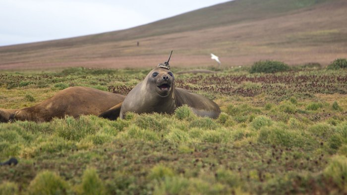 A tagged elephant seal basks on Kerguelen Island, a French territory in the Antarctic. Elephant seals are tagged as part of a French research program called SO-MEMO (Observing System - Mammals as Samplers of the Ocean Environment), operated by the French National Center for Scientific Research (CNRS). The tags - actually, sensors with antennas - are glued to the seals' heads in accordance with established ethical standards when the animals come ashore either to breed or to molt. The researchers remove the tags to retrieve their data when the seals return to land. If they miss a tag, it drops off with the dead skin in the next molting season. Credit: Sorbonne University/Etienne Pauthenet › Larger view