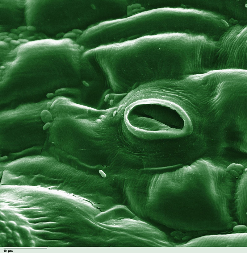 Fig. 6: Stoma in a tomato leaf shown via colorized scanning electron microscope image (Image: Wikipedia)