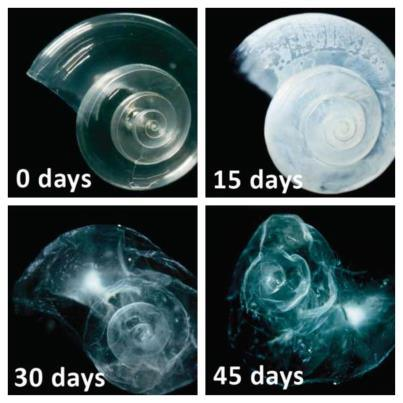 Fig 3 and image at top of the page: In a lab experiment, a sea butterfly shell placed in seawater with increased acidity slowly dissolves over 45 days. (Image: David Littschwager/NOAA)