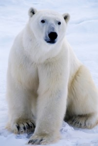 Polar bear, www.iStockPhoto.com: File# 3820730