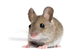 Mouse_iStock_000013599735Small