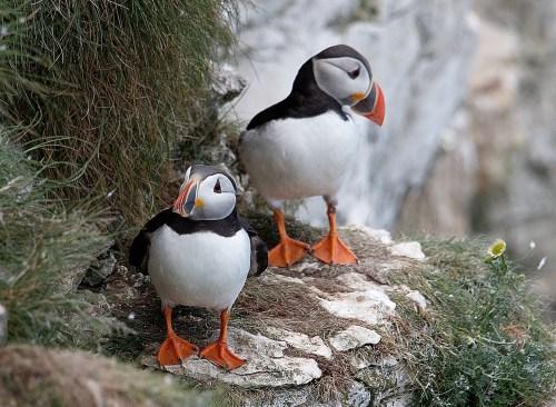 puffins birds cliffs