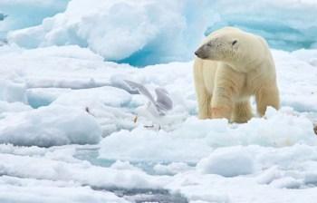arctic polar bear ice
