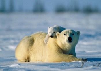 polar bear cub arctic