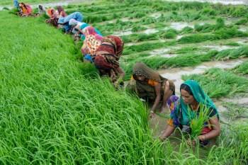 india crop harvest