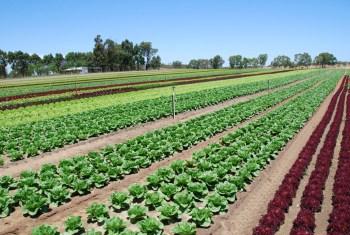 aussie crops veggies