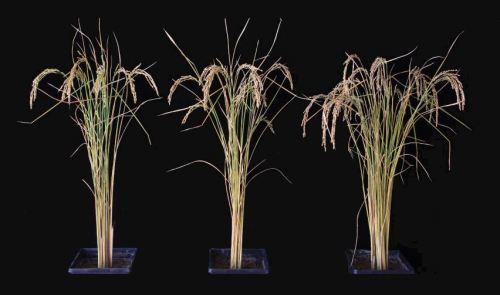 rice plants UC 50percent