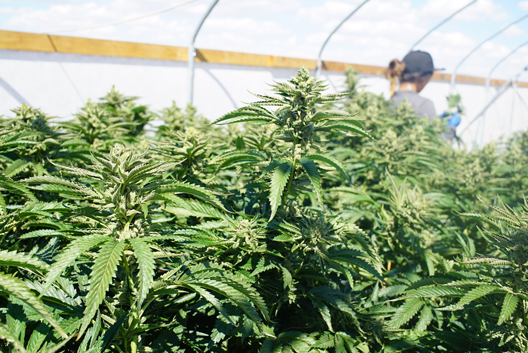 Canada Is Just Getting Started In The Medical Marijuana