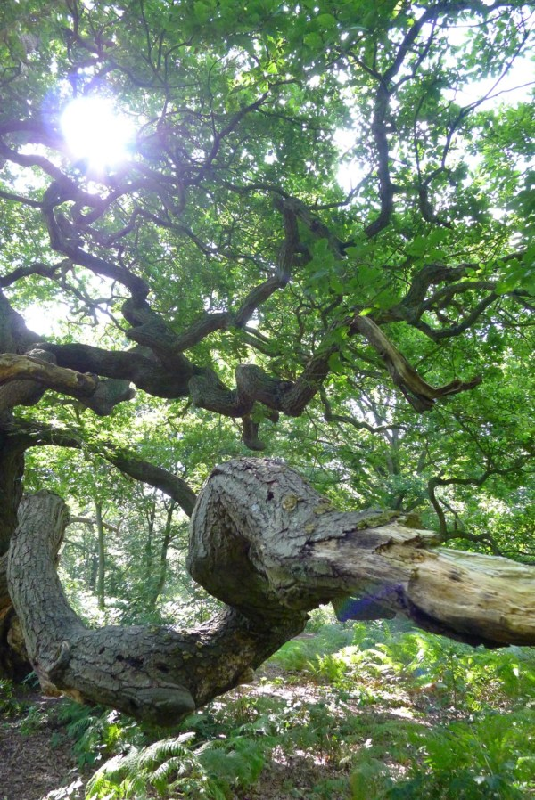 Imagining woodlands - showing an ancient oak in Sherwood Forest