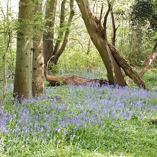 Showing bluebell woods