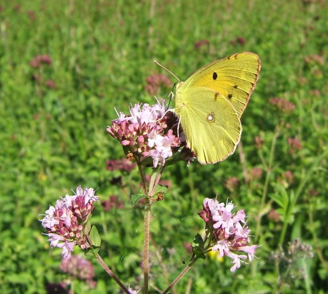 Showing Clouded Yellow, by Helen Moore