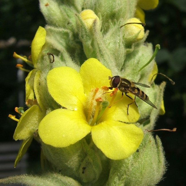Showing Great Mullein, by Helen Moore - co-creation and wild writing