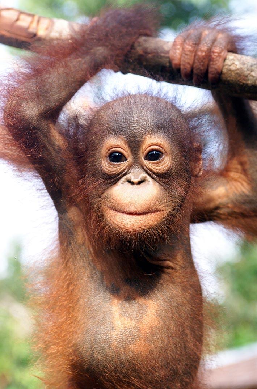 Anak Orangutan : orangutan, Ethics, Nutella, Climate, Diaries