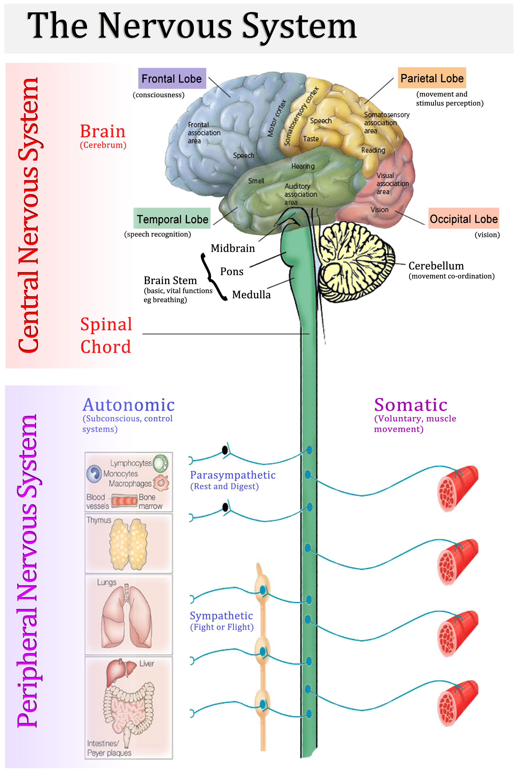 hight resolution of central nervous system vs peripheral nervous system