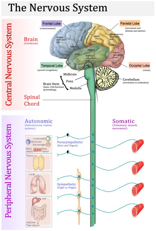 small resolution of central nervous system vs peripheral nervous system