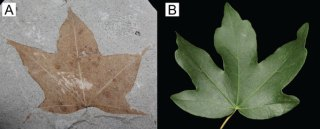 Fossil maple tree leaf from the Pliocene of Germany and (B) its nearest living relative. Credit: L. Seyfullah