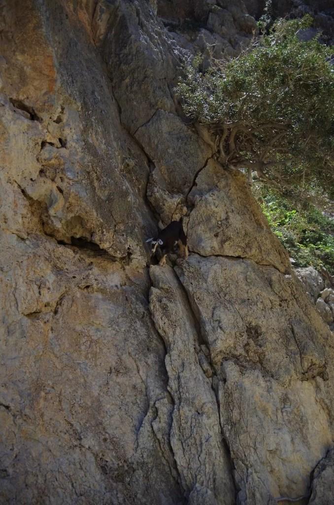 Koza na drodze wspinaczkowej