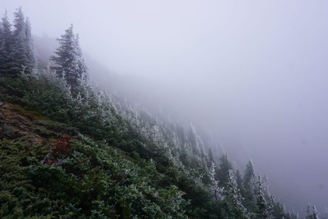 Icy Evergreens