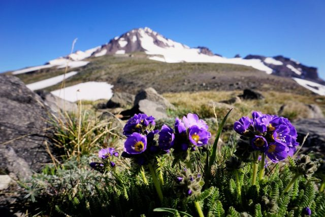 Glacier Gap Flowers