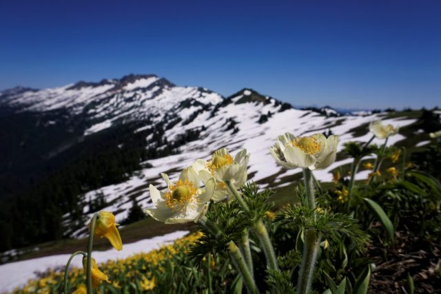 White Pass Flowers